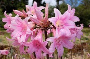 pink amaryllis belladonna