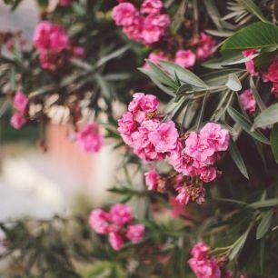 pink oleander via pinterest